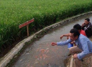Korban PHK Gegara Corona, Pemuda Ini Sulap Saluran Irigasi Sawah Jadi Kolam Koi