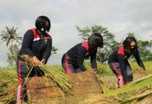 Dorong Ketahanan Pangan, Waka Polres Klungkung Bantu Warga Panen Padi