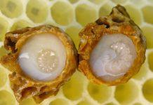 Penelitian di China: Royal Jelly Meningkatkan Sistem Kekebalan Tubuh
