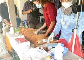 Dinas Pertanian Denpasar Gelar Kastrasi Dan Vaksinasi HPR