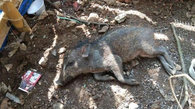 Babi Ngepet di Depok Dibunuh demi Cegah Warga Berkerumun